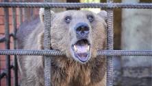 الدبّان الروسيان مدمنا الكحول ينتقلان لمركز تأهيل في رومانيا