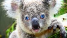 السلطات الأسترالية تقتل حوالي 700 حيوان كوالا