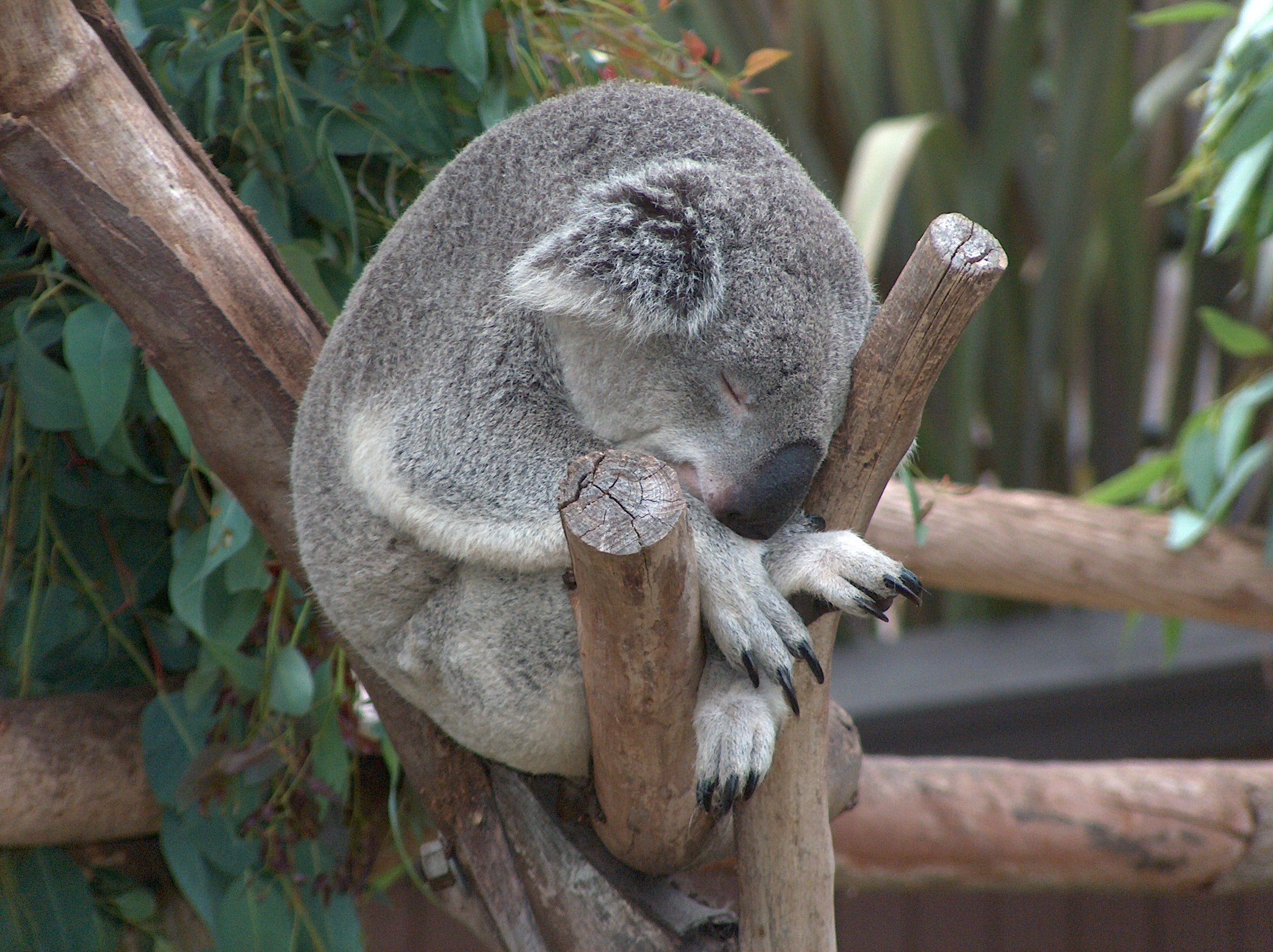 Koala02