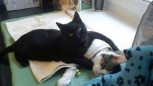 قط ممرض يعتني بالحيوانات المريضة في ملجأ بولوني