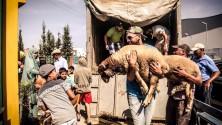 البطل العالمي بدر هاري يوزع 200 خروف بمناسبة عيد الأضحى