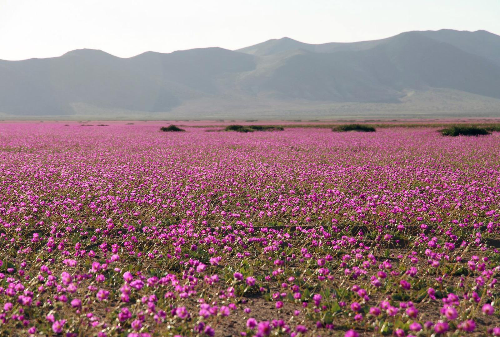CHILE-DESERT-BLOOMING