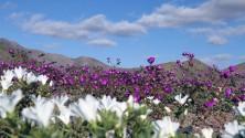 صحراء قاحلة تتحول إلى واحدة من أجمل حقول الأزهار بالشيلي