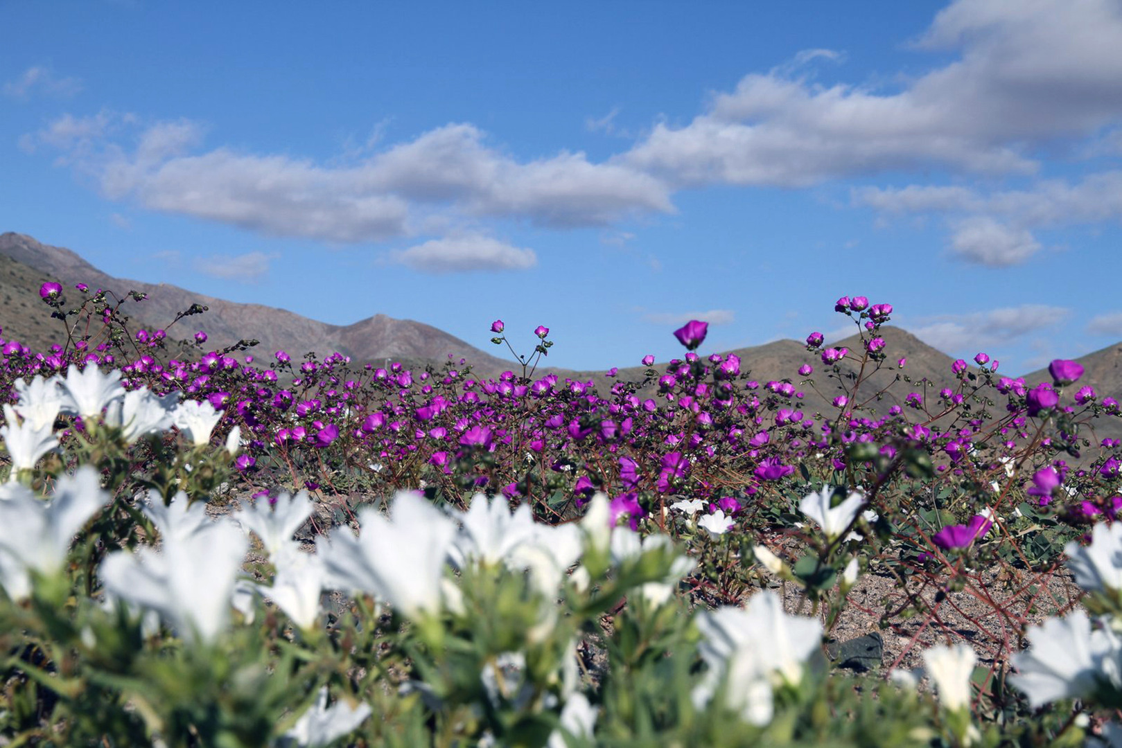 Flowers bloom at the Huasco region on the Atacama desert, some 600 km north of Santiago on November 27, 2015. A gigantic mantle of multicolored flowers covers the Atacama Desert, the driest in the world, with an intensity not seen in decades, an effect caused by the El Niño phenomenon, which alters weather patterns across the Pacific basin. AFP PHOTO / CARLOS AGUILAR