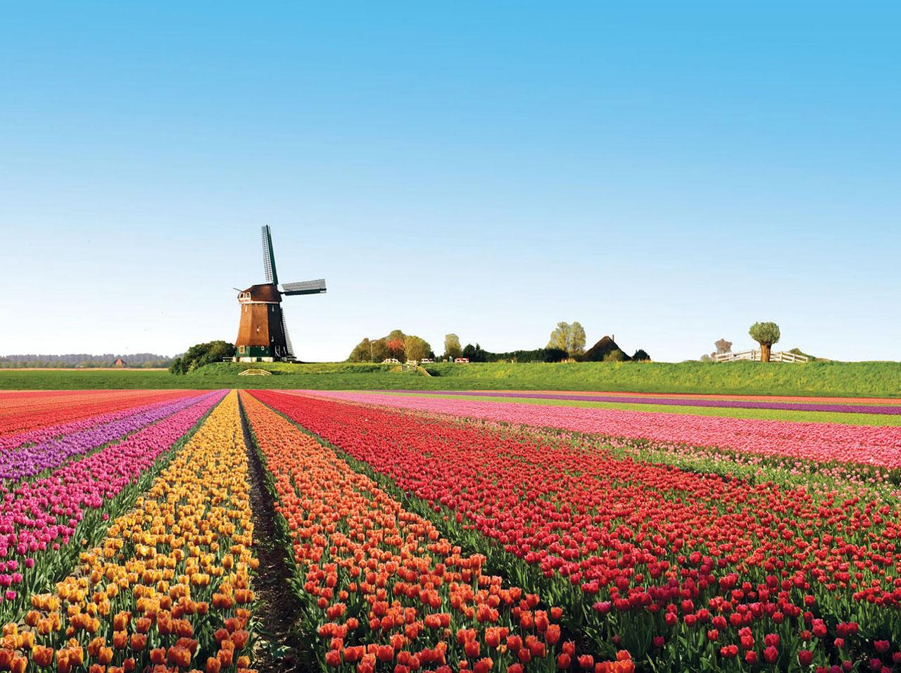 Champs-de-tulipes-Alkmaar-Pays-Bas-photo-01