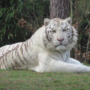 نمر أبيض