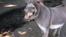 مهرجان نجومه حمير بالمغرب يفوز بجائزة دولية للخيول بجنيڤ
